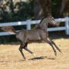 Hunterberry Hill Simply Impressive - 2014 AMHA/AMHR Bay Colt sired by Rivenburghs Jess Let Me Impress